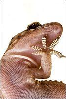 gekon, bioniczne protezy